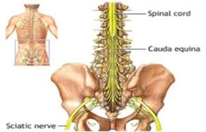cauda-equina-spinal-nerves